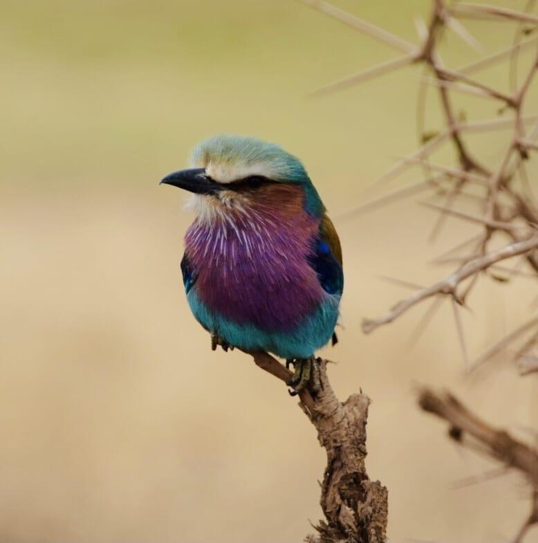 Tanzania safari lilac-breasted roller