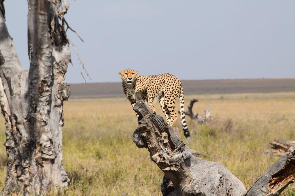 Tanzania safari cheetah testimonial