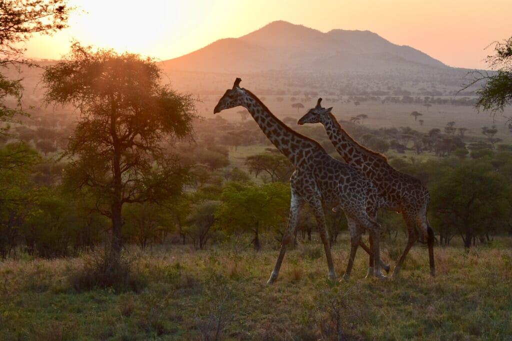 Tanzania safari giraffe testimonial