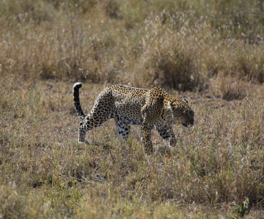 Tanzania safari leopard testimonial