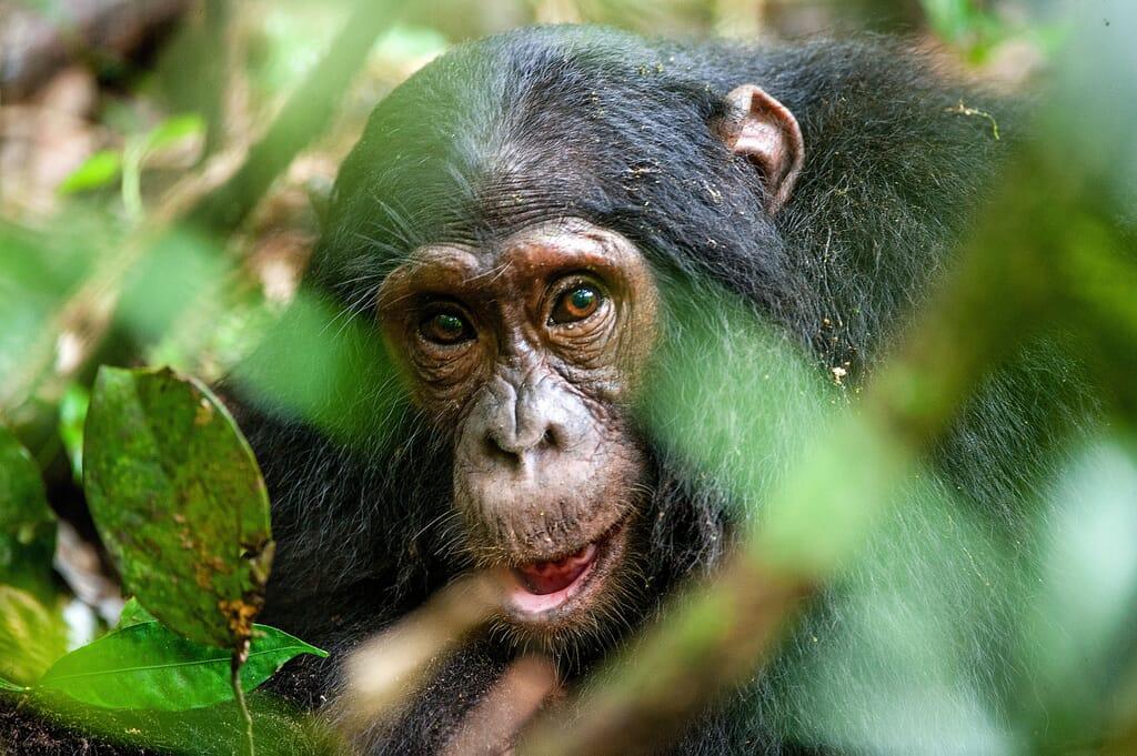Chimpanzee-forest.jpg?w=1024&h=681&scale