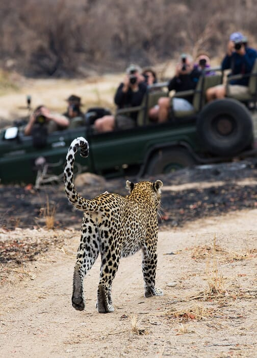 South Africa family safari holidays Sabi Sand Kruger leopard potrait
