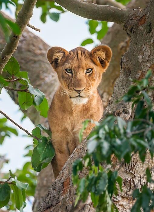 lion-potrait.jpg?w=509&h=700&scale