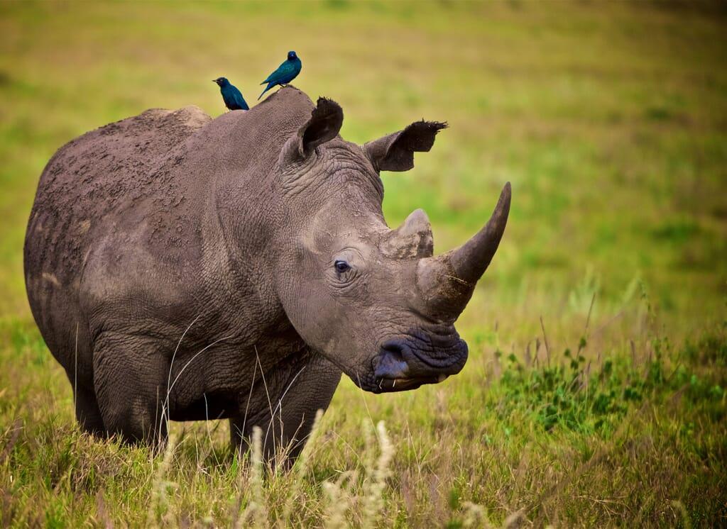 rhino-lewa-e1608472519250.jpg?w=1024&h=746&scale