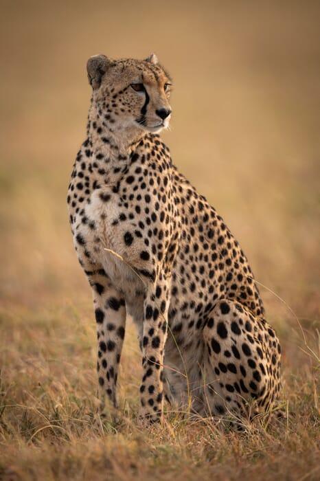 tanzania serengeti cheetah potrait family safari