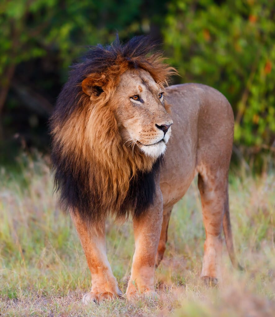 Kenya Masai Mara lion portrait family safari holiday Africa safaris