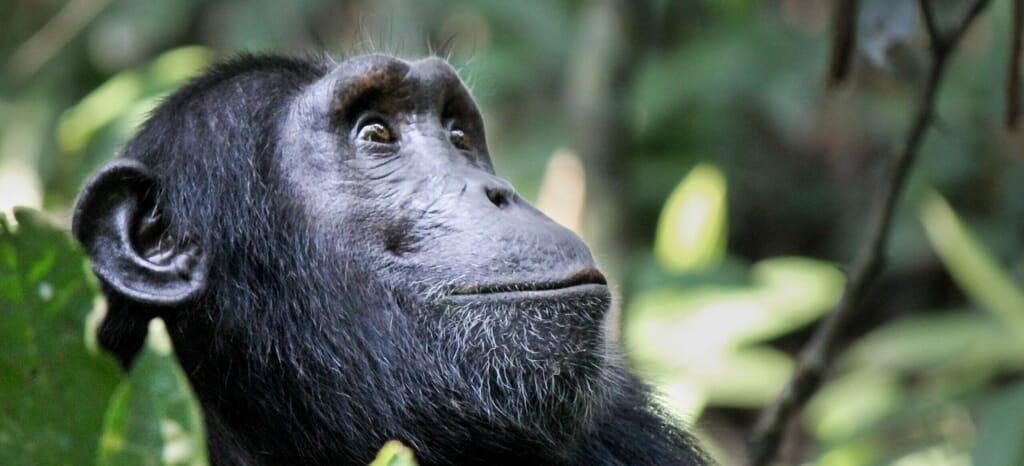 chimpanzee looking up tanzania Uganda family safari