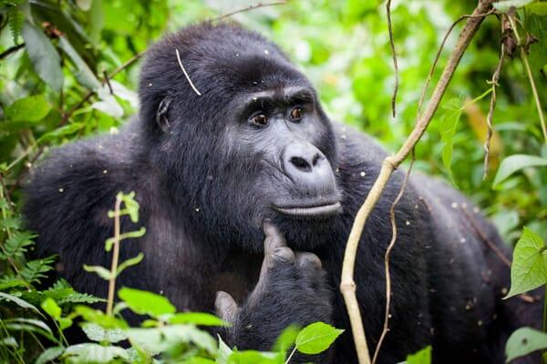 Uganda safari Bwindi Impenetrable forest gorilla luxury