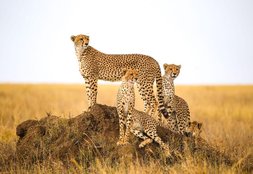 cheetah family tanzania Serengeti family safari