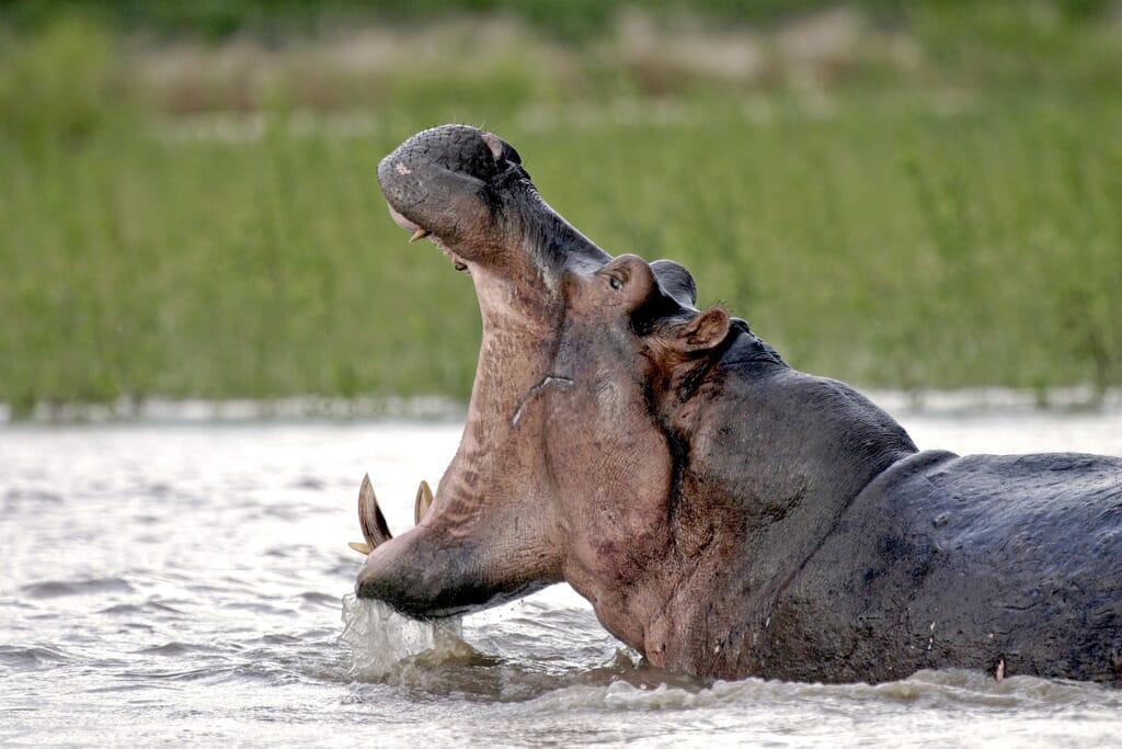 hippo-nyerere.jpg?w=1024&h=683&scale