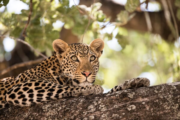 leopard tanzania Ruaha family safari Africa safaris