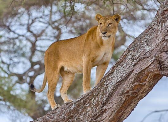 lion-tree-manyara-e1608415355263