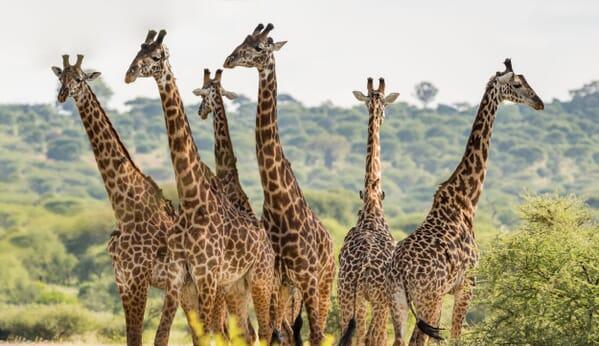 Tanzania giraffe herd tarangire family safari