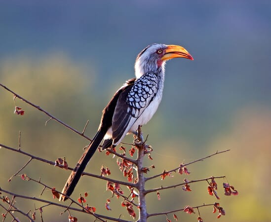 East Africa yellow-billed hornbill African birding safaris