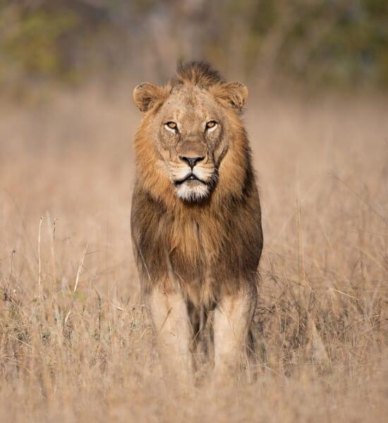 Tanzania tarangire male lion family safari