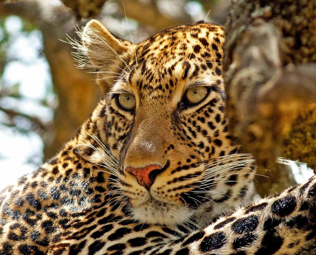 Kenya Masai Mara leopard tree family safari