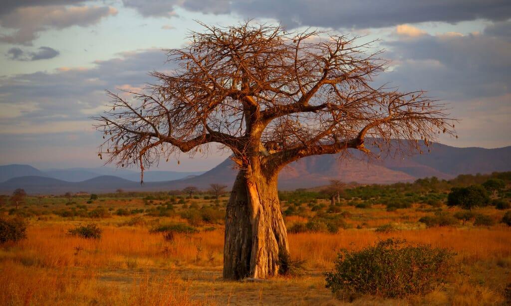tanzania ruaha baobab family safari