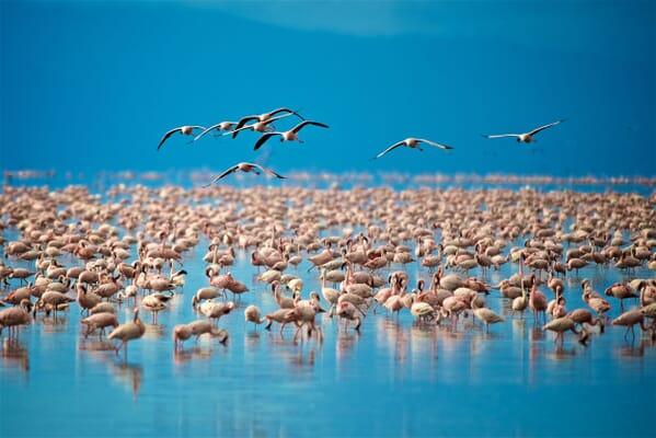 Tanzania lake manyara flamingoes family safari