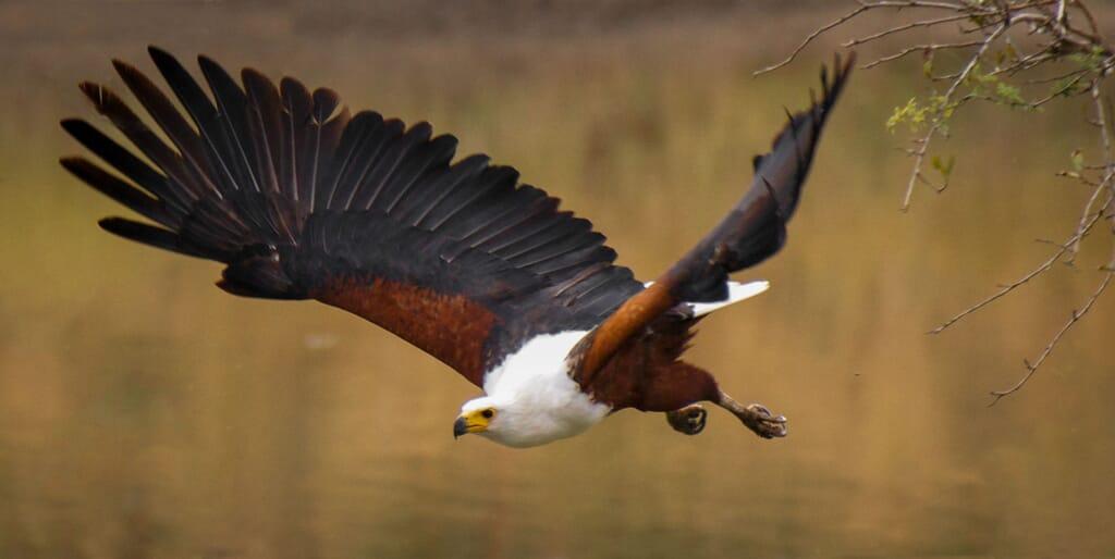 tanzania Nyerere fish eagle hunting African birding safaris
