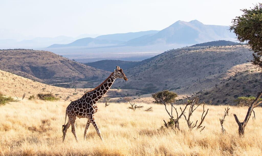 Kenya Lewa downs giraffe family safari