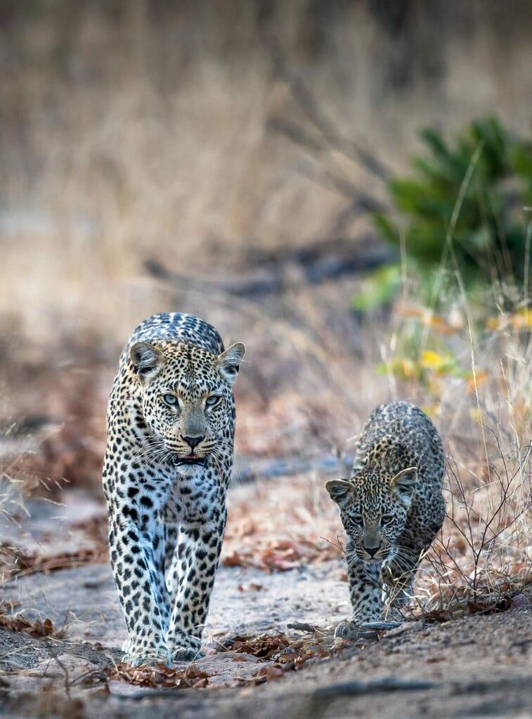 tanzania ruaha leopard walking cub family safari
