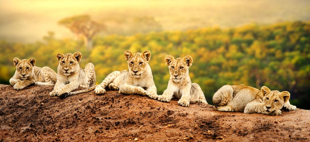 East Africa big five lions sunrise family safari