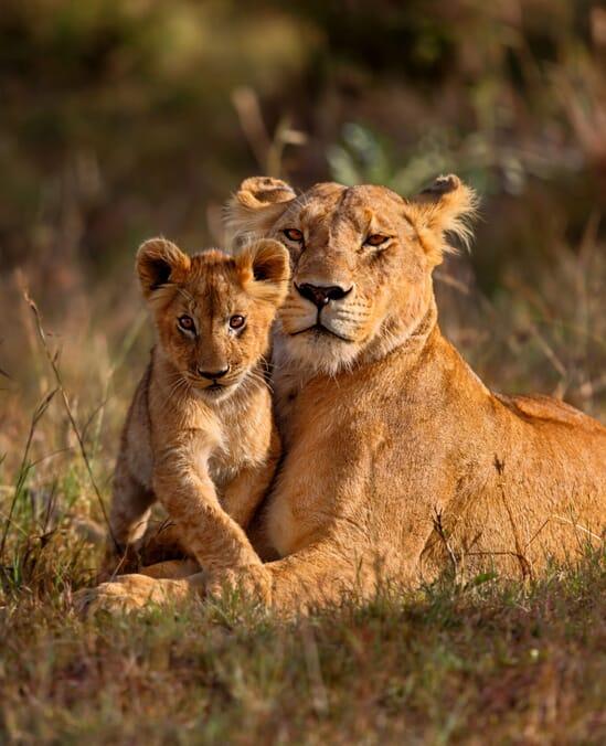 Kenya Masai Mara lion and cub portrait family safari