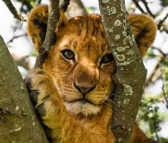 tanzania Lake Manyara lion cub tree family safari