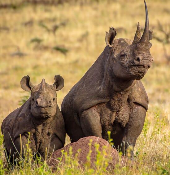 Kenya Lewa downs rhino and calf family safari