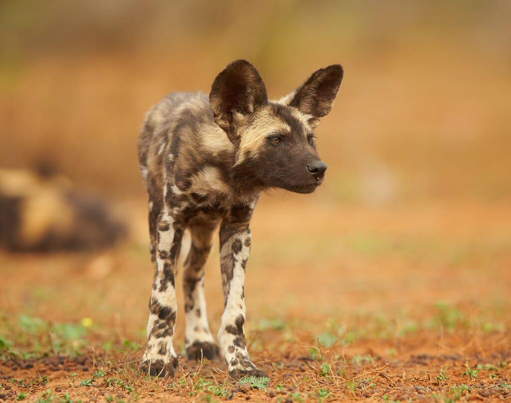Tanzania nyerere wild dog family safari