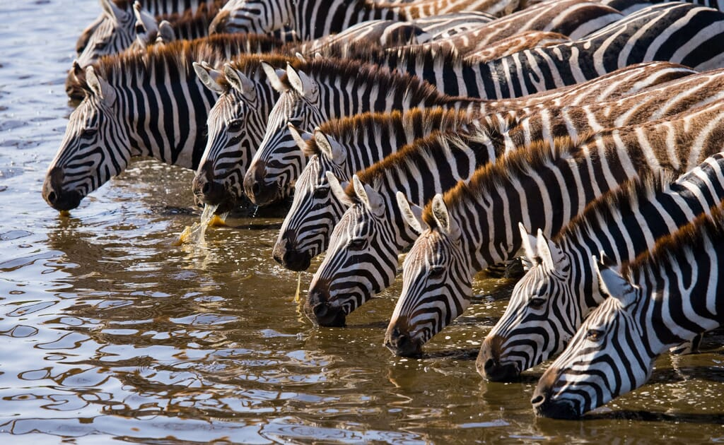 Best time to visit Kenya - zebra drinking