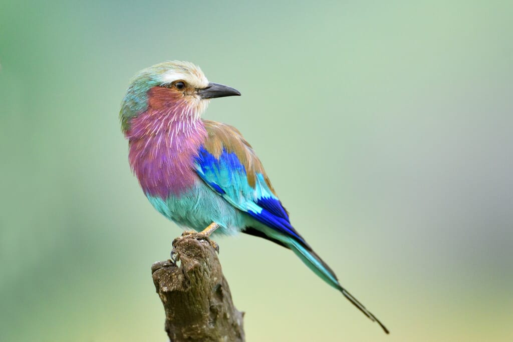 lilac-breasted roller African birding safaris