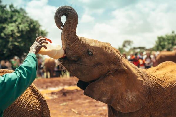 Kenya David sheldrick elephant feeding Nairobi family safari