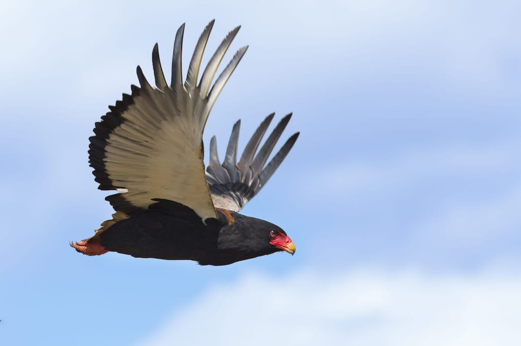 East Africa bateleur eagle flight family safari