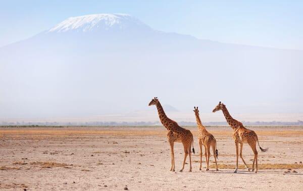 Kenya Amboseli and Chyulu Hills Kilimanjaro giraffe family safari