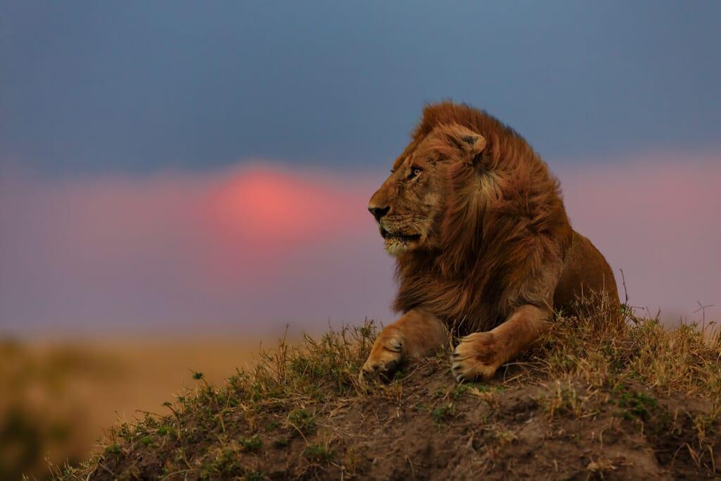 Kenya luxury safaris lion Masai Mara mound
