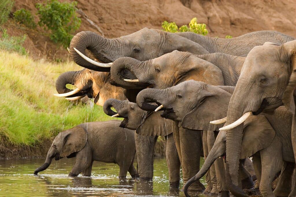 Africa elephant herd drinking river family safari