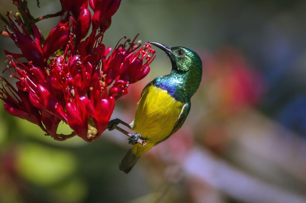 tanzania sunbird family safari