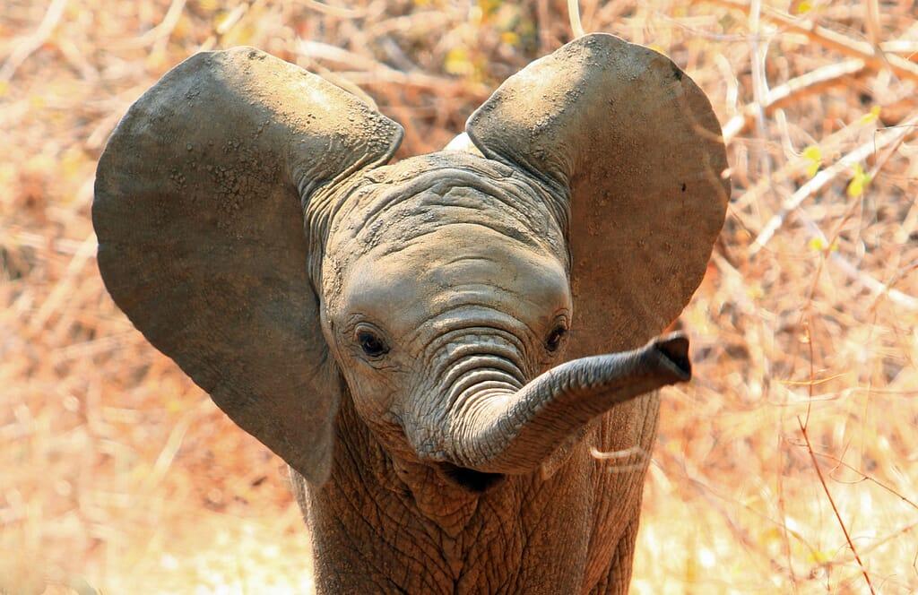 baby elephant big ears africa family safari