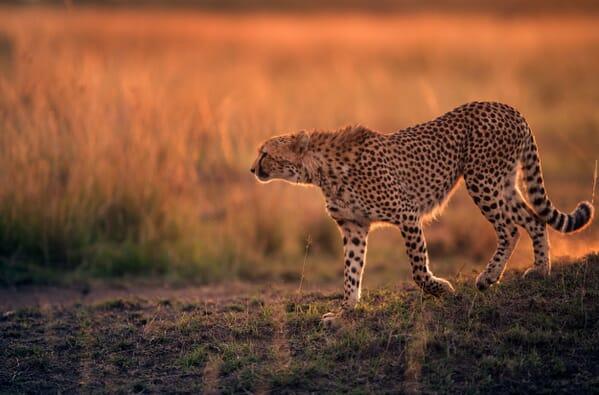 Kenya Masai mara cheetah sunset family safari