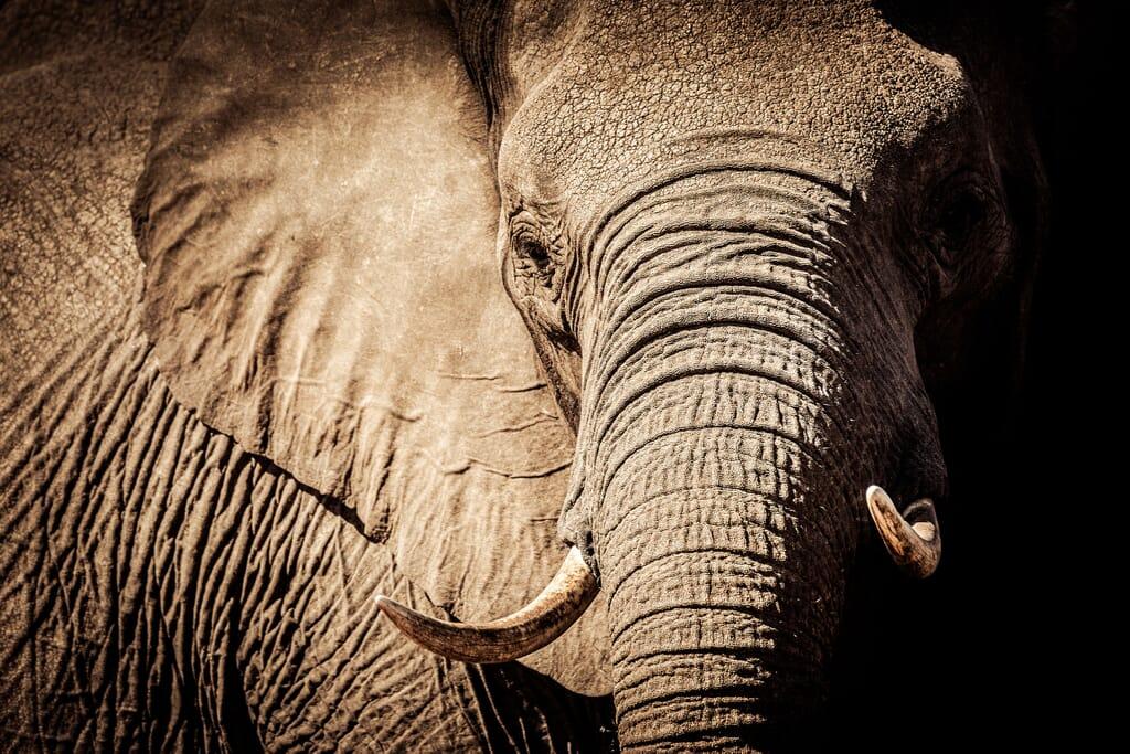 elephant africa conservation