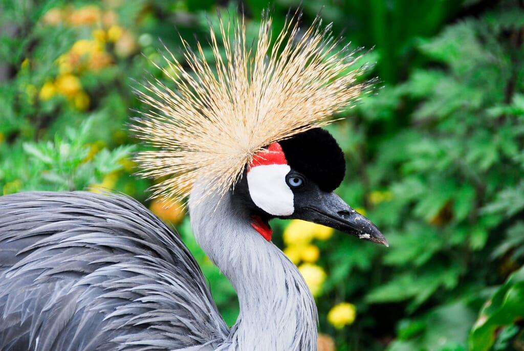 Uganda grey-crowned crane queen Elizabeth national park African birding safaris