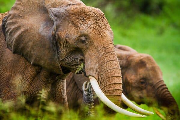 elephant tanzania tarangire family safari