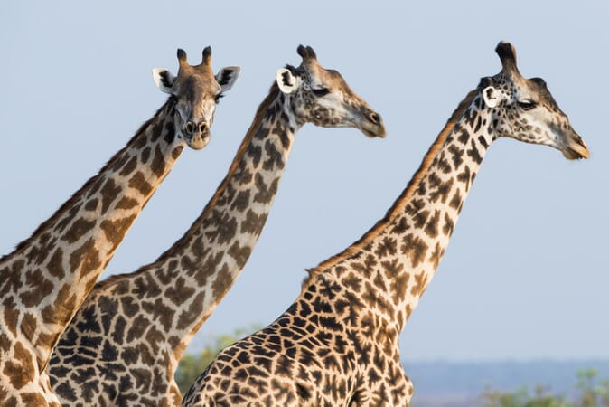Tanzania Nyerere Sand Rivers Selous family safari giraffe