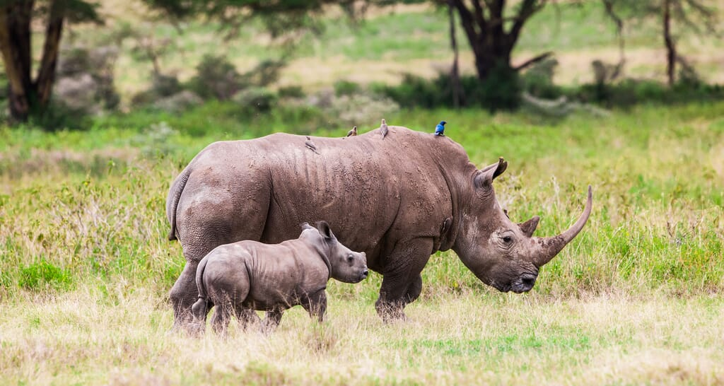 Kenya Masai Mara rhino and calf
