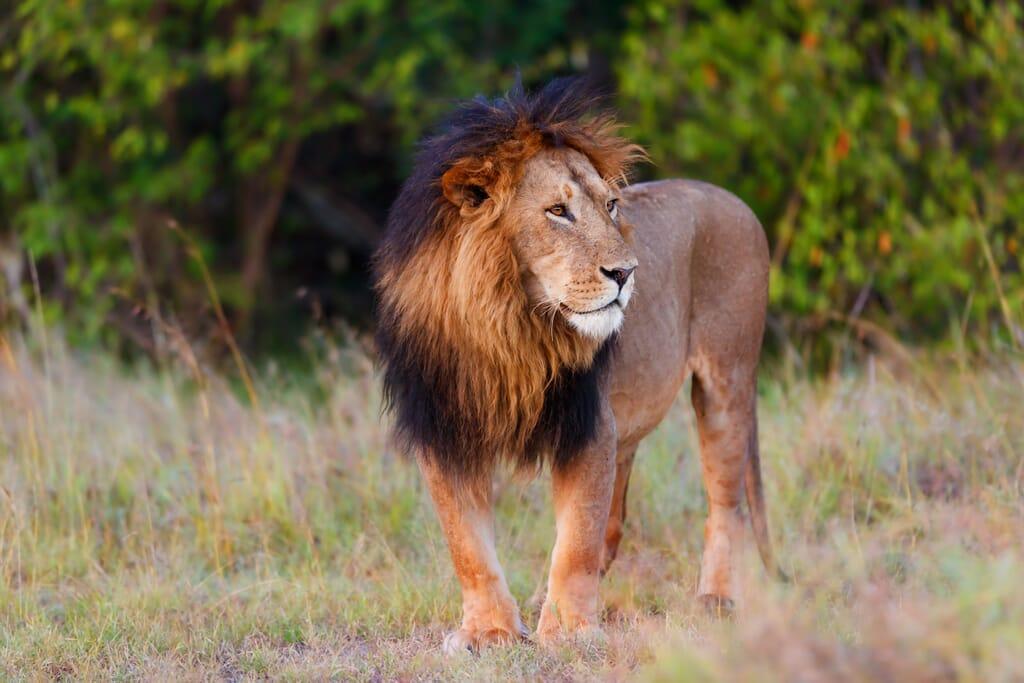 Kenya lion male masai mara