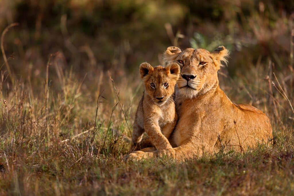 Kenya Masai Mara lion and cub