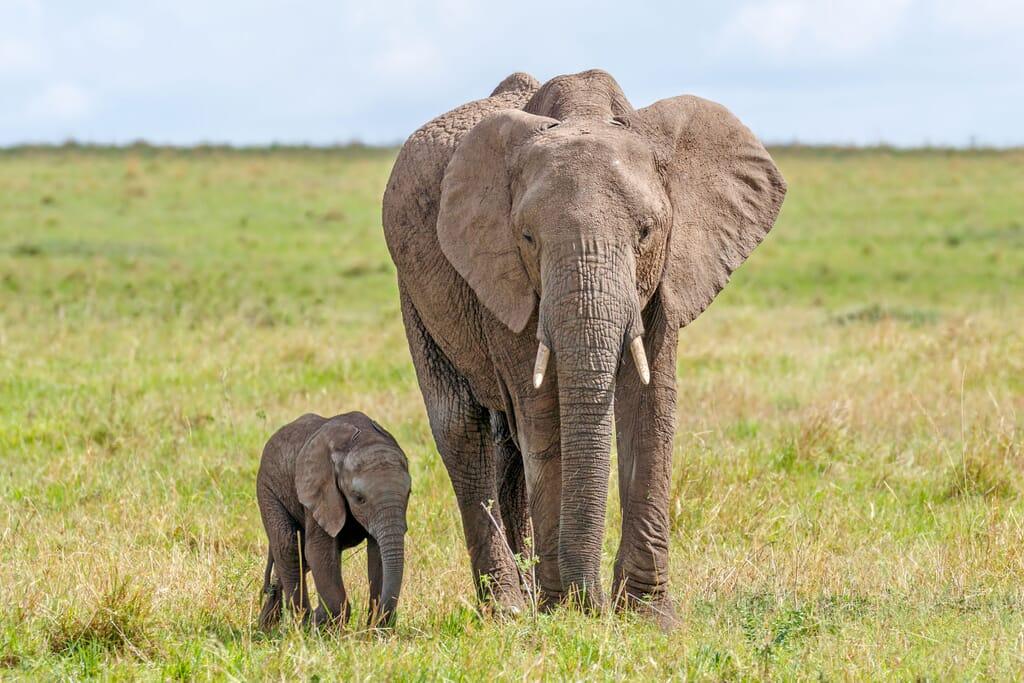 Kenya Masai Mara elephant and calf