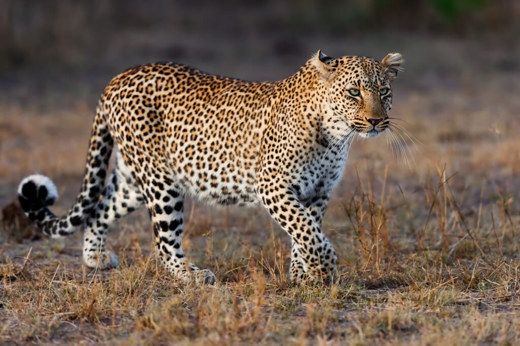 Kenya Masai Mara leopard