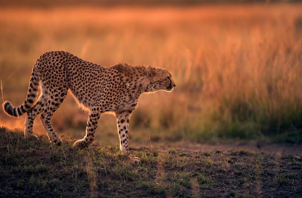 Kenya cheetah sunset masai mara